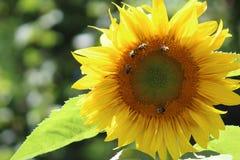 Солнцецвет с пчелами стоковое изображение rf