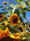 Солнцецвет с пчелой стоковое фото rf