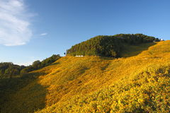 солнцецвет Таиланд поля Стоковое Фото