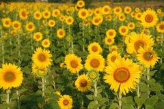 Солнцецвет, Таиланд Стоковые Изображения RF