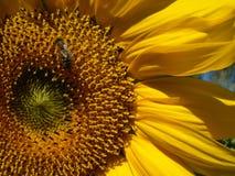 солнцецвет типа макроса пчелы Стоковые Изображения RF