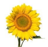 солнцецвет уточненный glome Стоковая Фотография RF