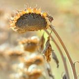 солнцецвет хлебоуборки Стоковые Фото