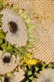 солнцецвет цветений стоковые фото