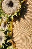 солнцецвет цветений стоковые фотографии rf