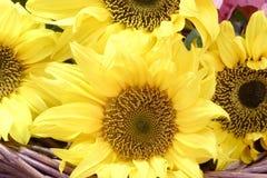 солнцецвет цветений Стоковое фото RF