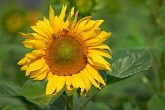 солнцецвет цветения пчел Стоковая Фотография