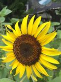 Солнцецвет цветения Стоковое Изображение RF