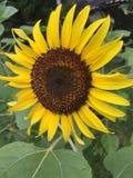 Солнцецвет цветения Стоковое фото RF