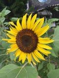 Солнцецвет цветения Стоковые Фотографии RF