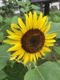 Солнцецвет цветения Стоковая Фотография RF