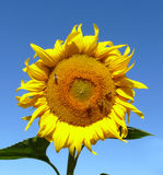 солнцецвет цветения Стоковые Изображения RF