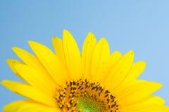 солнцецвет цветения Стоковое Изображение