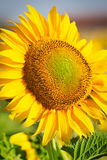 солнцецвет цветения Стоковое Фото