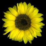 солнцецвет цветеня стоковое изображение rf