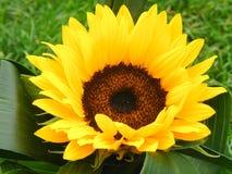 солнцецвет детали Стоковое Фото
