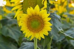 Солнцецвет, Стоковое Изображение RF