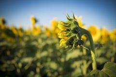Солнцецвет, Стоковая Фотография