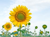 солнцецвет Стоковая Фотография