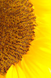 солнцецвет Стоковые Фотографии RF