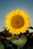 солнцецвет 11 Стоковое Фото