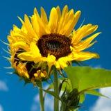 Солнцецвет Стоковые Изображения