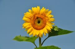 Солнцецвет 2 Стоковое Фото