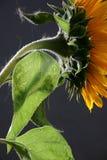 солнцецвет 3 студий Стоковое Изображение RF