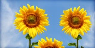 солнцецвет 3 Стоковое Изображение RF