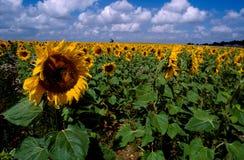 солнцецвет 3 Стоковые Изображения RF