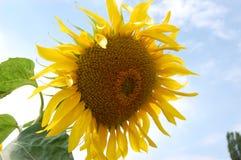 солнцецвет стоковые изображения rf