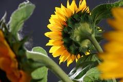 солнцецвет 5 студий Стоковое Фото