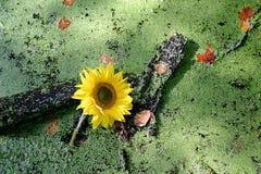 солнцецвет duckweed Стоковые Изображения
