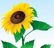 солнцецвет eps Иллюстрация штока