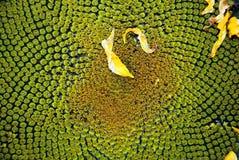 солнцецвет florets диска Стоковые Фотографии RF