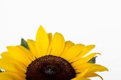 солнцецвет helianthus annuus Стоковое фото RF