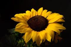 солнцецвет helianthus annuus Стоковая Фотография RF