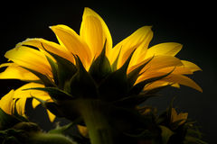 солнцецвет helianthus annuus Стоковые Изображения RF