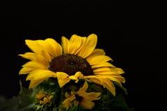 солнцецвет helianthus annuus Стоковое Изображение