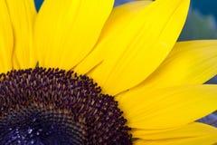 солнцецвет helianthus annuus Стоковые Фото