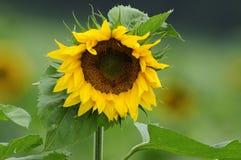 солнцецвет helianthus annuus Стоковая Фотография