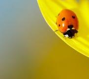 солнцецвет ladybug сидя стоковое изображение rf
