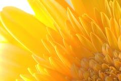 солнцецвет ragdoll предпосылки Стоковая Фотография