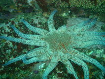 солнцецвет starfish стоковая фотография