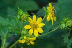 Солнцецвет Tickseed - aristosa Bidens Стоковая Фотография RF