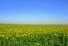 солнцецвет VII Стоковые Изображения RF