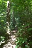 Солнце затопило путь леса пеший заключенный деревьями и кустарниками Стоковое фото RF