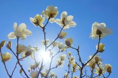 Солнце и yulan цветок Стоковые Изображения