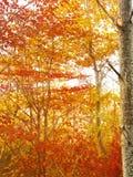 солнце лучей пущи осени золотистое Стоковые Изображения RF