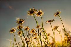 солнце маргариток Стоковое Фото
